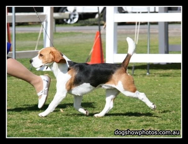 Sligrachan Beagles Breed Standard For The Beagle